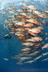 Schooling Bohar Snapper at Shark Reef by Stew Smith 